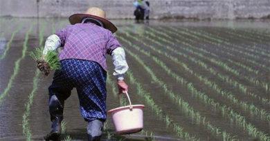 Интересные факты о японском рисе