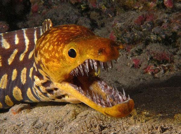 Тигровая рыба-мурена, опаснейший обитатель Атлантического океана