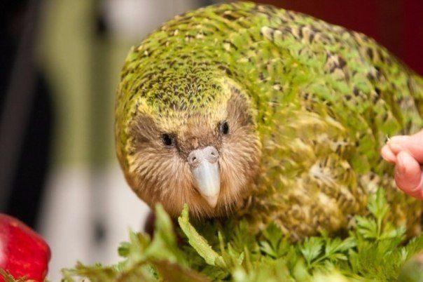 Самая необычная птица Какапо — сова-попугай