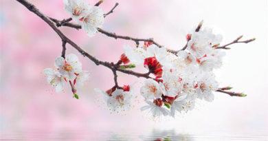 Ветка сакуры: символ весны