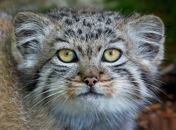 Харизматичные манулы – шикарные кошки!