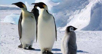 Почему у пингвинов не мерзнут ступни: интересные факты о пингвинах