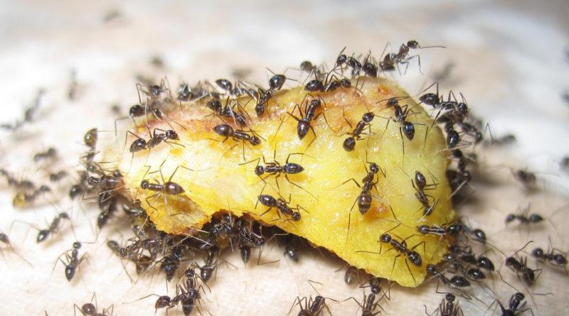 9 способов избавиться от муравьев в доме