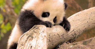 История панд