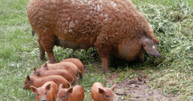 Венгерская мангалица – необычная свинья