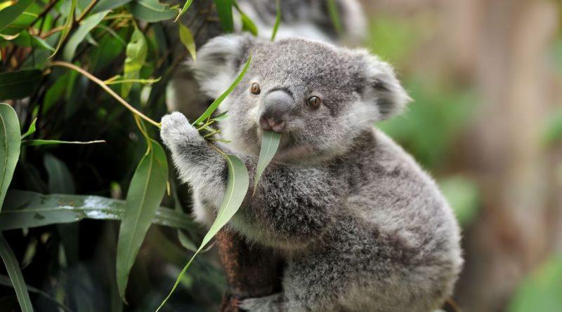 У коал обнаружены гены, помогающие обезвреживать яд эвкалипта