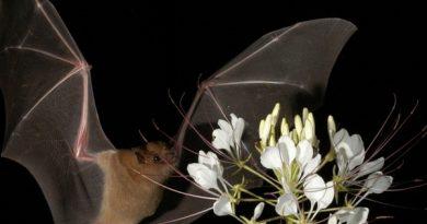У летучих мышей достаточно хорошее зрение