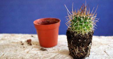 Как вырастить кактус дома?