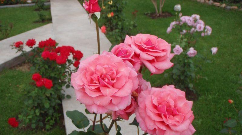 6 Ошибок в выращивании роз на даче