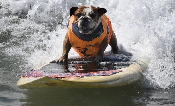 Ежегодные соревнования по собачьему серфингу