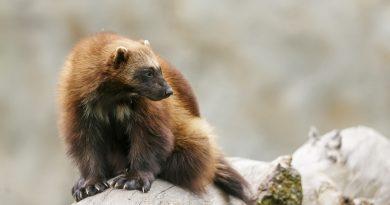 Незваные гости: где в Европе увидеть диких животных