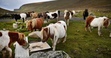 Остров Фула – лошадок здесь больше, чем людей