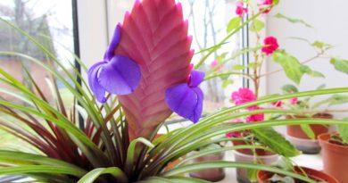 Тилландсия. Красивое декоративное растение для вашей квартиры