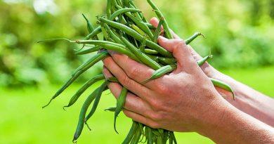 Как готовится стручковая фасоль на зиму: польза летних витаминов