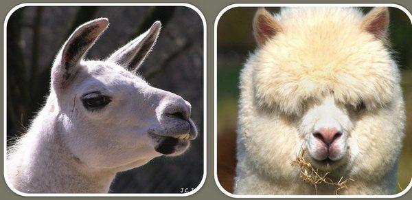 Чем различаются альпаки и ламы?