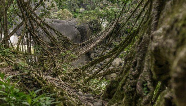 Мосты из корней деревьев — уникальные сооружения индийских племен