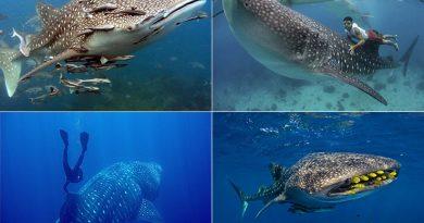 Появление в Египте китовой акулы увеличило туристический интерес дайверов