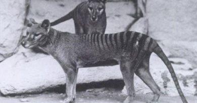 Тасманский тигр