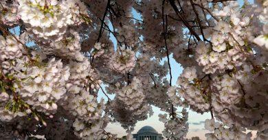 3 города, где празднуют цветение вишни
