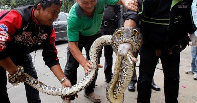 Как быть туристу, если змея заползет в его номер в Таиланде