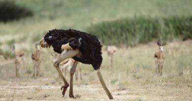 Откуда пошёл миф, что страус прячет голову в песок?