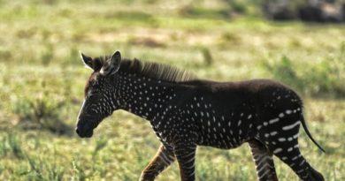 В Кении на свет появилась зебра в горошек