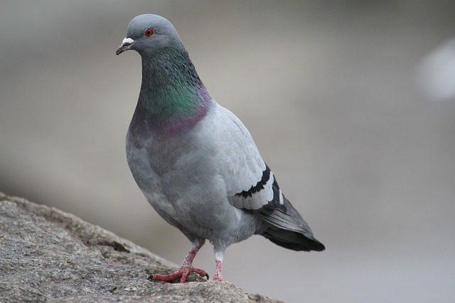 Разбушевавшийся голубь едва не сорвал авиарейс в Индии