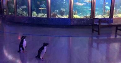 Пингвины прогулялись по залам чикагского океанариума.