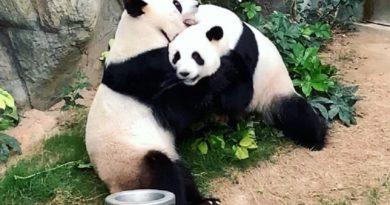 Карантин помог свести двух панд в гонконгском зоопарке