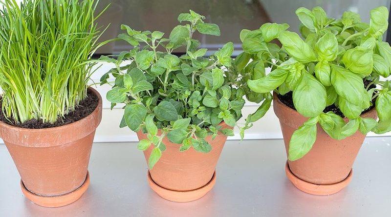 5 трав, которые легко вырастить на подоконнике