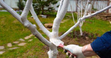 Особенности побелки деревьев весной