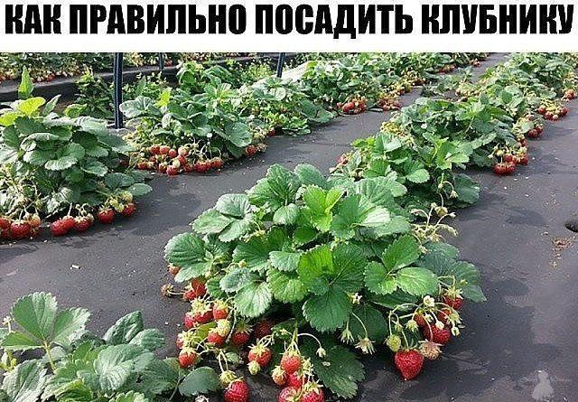 Как правильно посадить клубнику - 4 способа посадки.