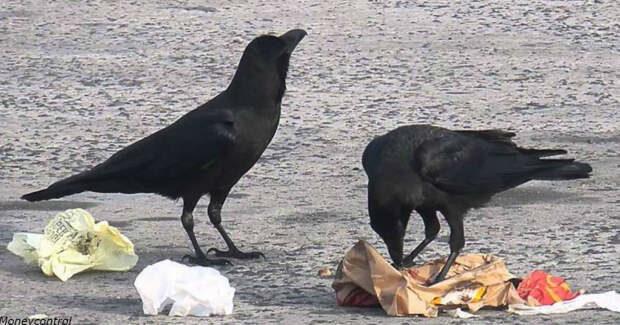 Вороны убирают мусор во французском парке развлечений