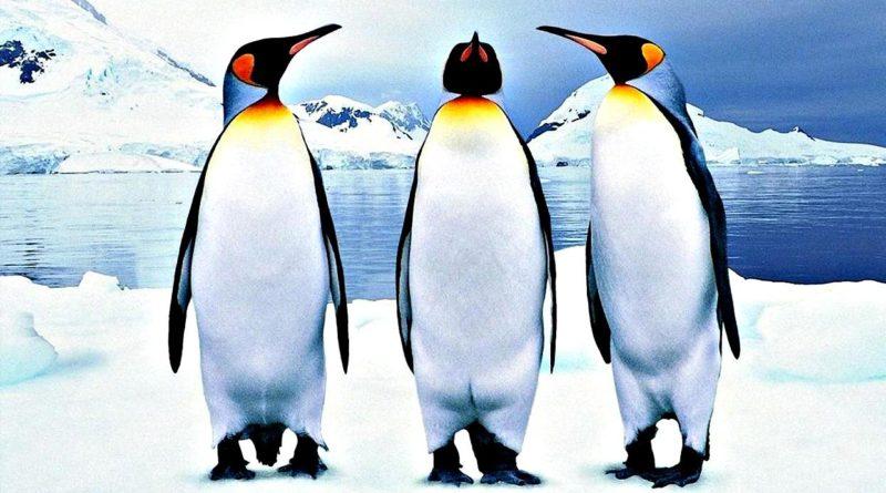Думаете, что пингвины милые и ласковые? Ошибаетесь
