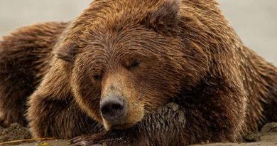 Что происходит с медведем во время зимней спячки?