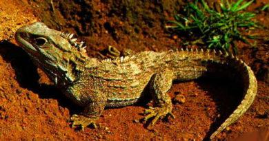 Туатара: рептилия с тремя глазами