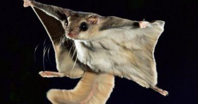 Интересные факты о летягах