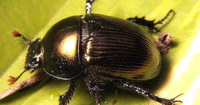 Скарабей - священный жук Египта