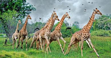 Жирафы снова удивили биологов