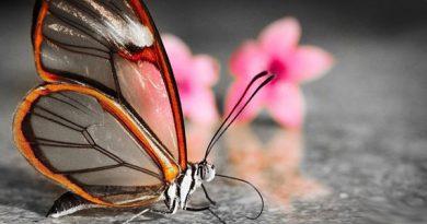Бабочки-убийцы: что мы о них не знаем?