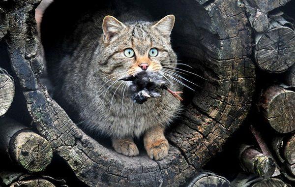 Гигантские одичавшие кошки – проблема Австралии