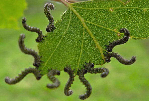 Гусеница, использующая табачный запах как защиту
