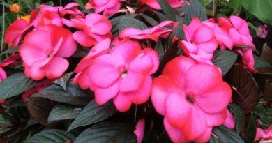 Бальзамин – многолетнее неприхотливое растение для вашего дома