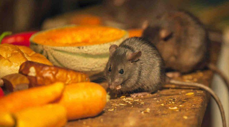 Мыши и крысы на даче. Как бороться?