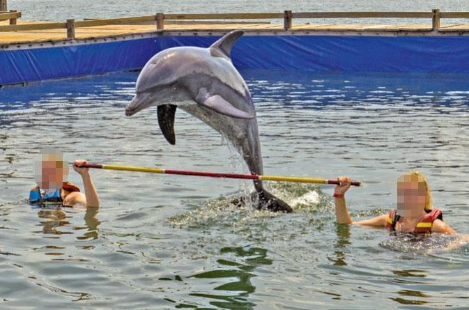 На Бали дельфинам удаляют зубы для выступлений перед туристами