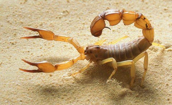 Яд желтого скорпиона – самая дорогая жидкость в мире