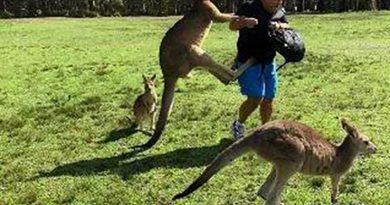 Австралийские власти обеспокоены нападениями кенгуру на туристов