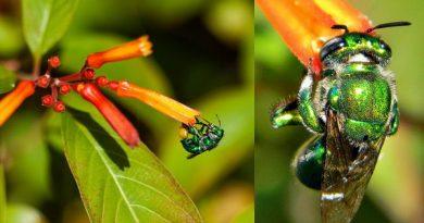 Пчелы — парфюмеры