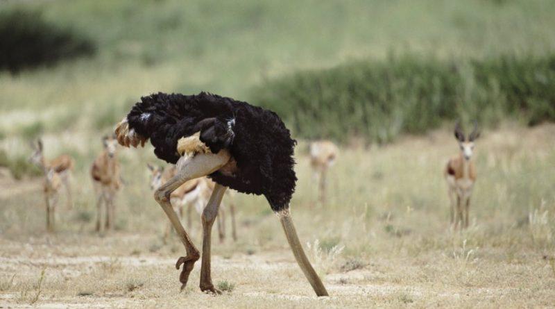 Правда ли, что страусы прячут голову в песок
