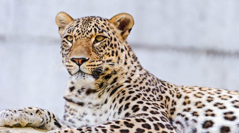 Интересные факты о леопардах
